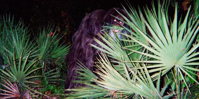 Bigfoot Base Skunk Ape Myakka Photos